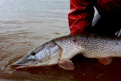 Create Listing: Guided Fly Fishing - Pike - Wisconsin