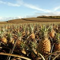 Create Listing: Ultimate Pineapple Tasting Tour
