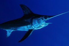 Create Listing: Swordfish Charter - 10 Hour Duration