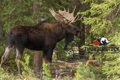 Create Listing: 7 Day Archery Moose Hunt Package